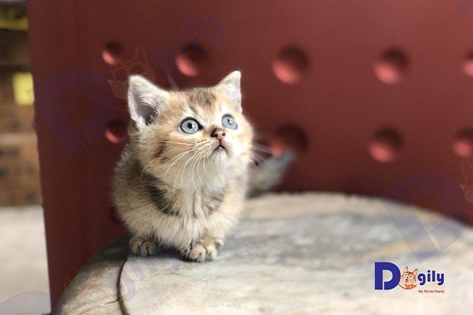 Bé mèo chân ngắn màu golden black point cực hiếm 1 tháng tuổi, bố mẹ nhập khẩu sinh sản tại trại mèo Dogily Cattery.