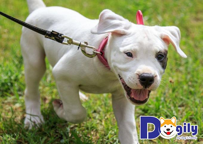 Một chế độ dinh dưỡng hợp lý sẽ giúp chó Dogo Argentino sống khỏe mạnh.