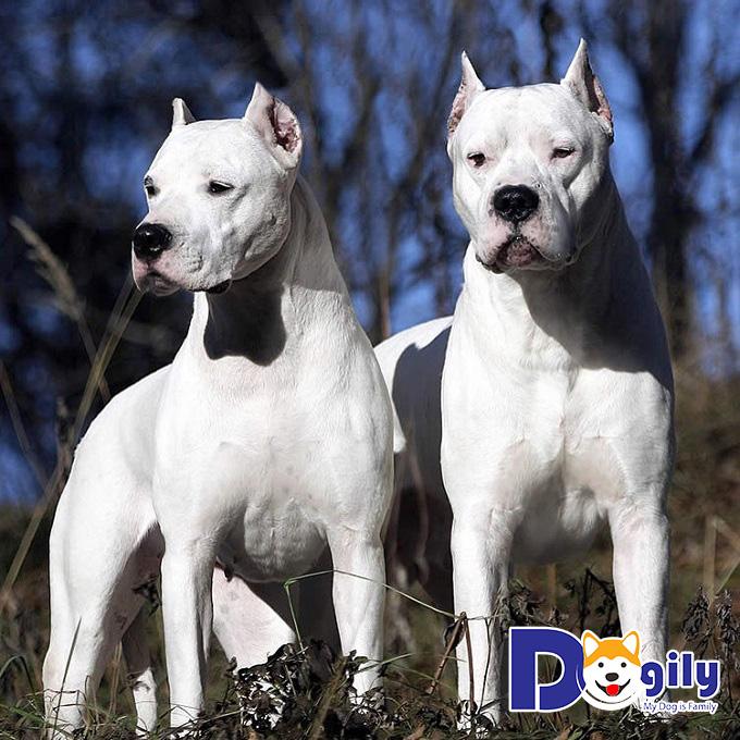 Một chú chó Ngao Argentina phải có một cơ thể khỏe mạnh, chuẩn men.