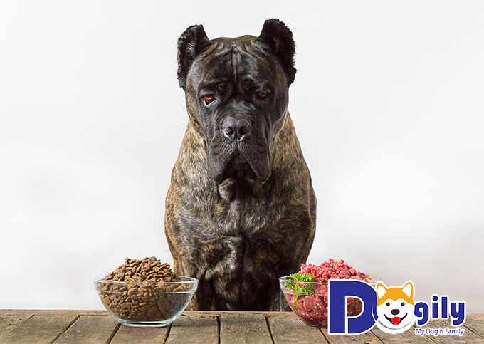Nên chăm sóc chó Ngao Ý như thế nào
