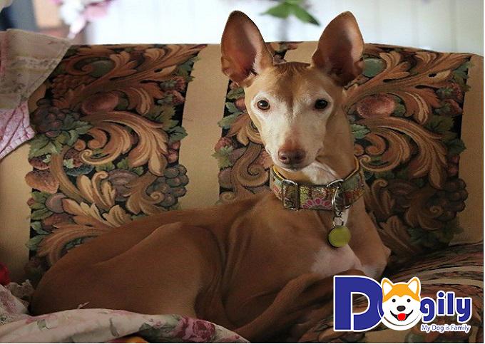 Phải biết cách chăm sóc lông đúng cách để bộ lông của chó Ai Cập bóng mượt.