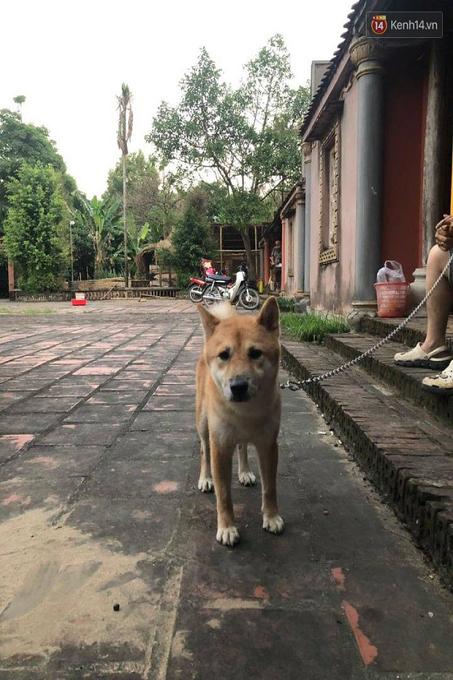 Một chú chó ta với ngoại hình hơi lai lai