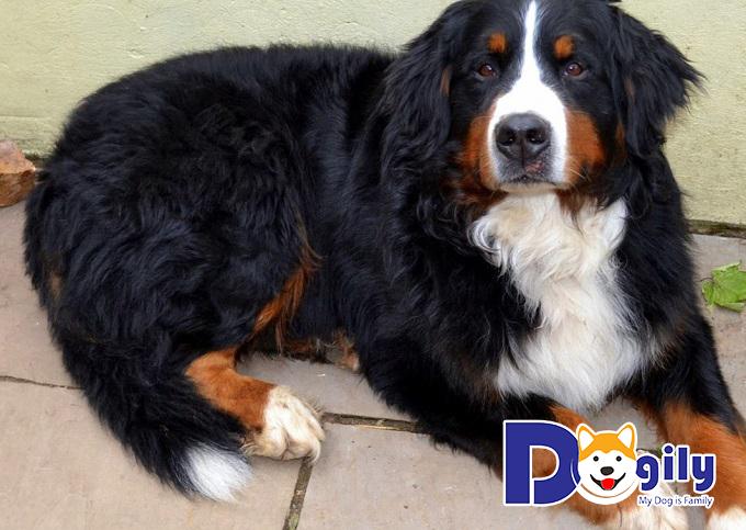 Tính cách chó Bernese Mountain Dog