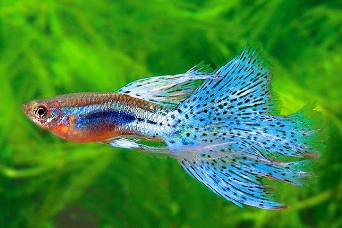 Cá bảy màu là loại cá nuôi rất dễ