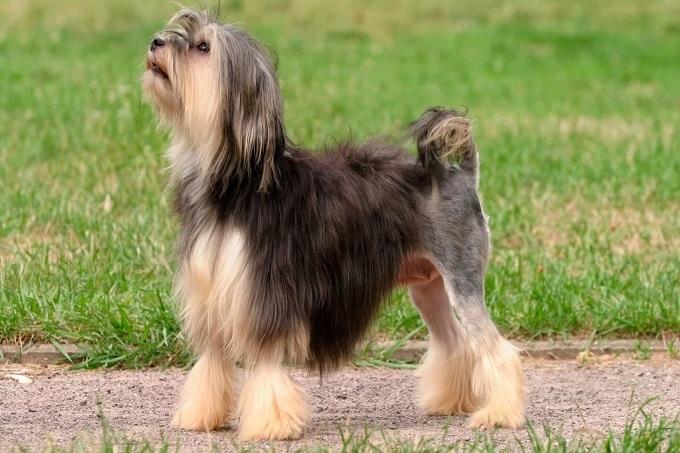 Chó LowChen
