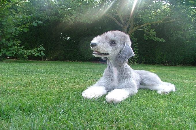 Chó sục Bedlington