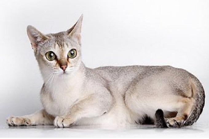 mèo Singapura có nguồn gốc từ đảo Malay, Đông Nam Á