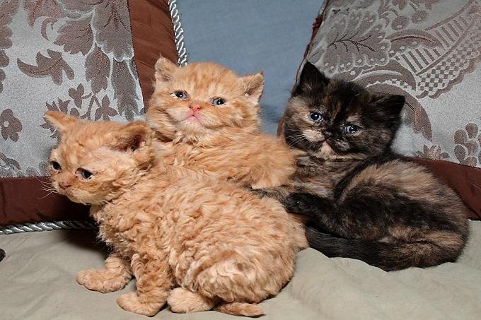 Những bé mèo lông xoăn Selkirk Rex