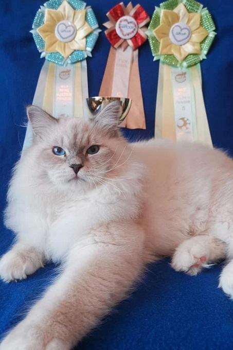 Giống mèo Siberian