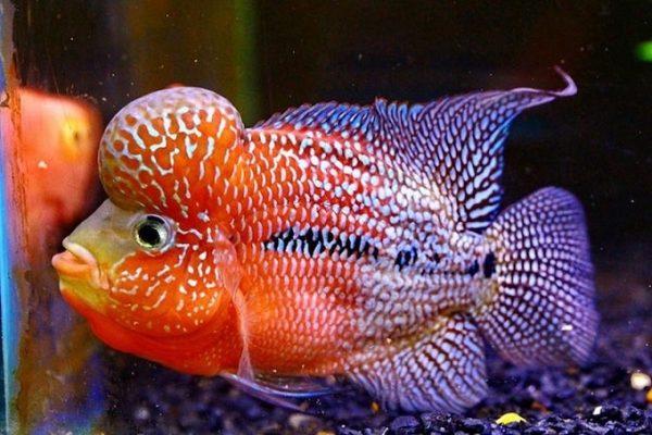 Cá La Hán có họ hàng với cá rô phi và thuộc bộ cá vược