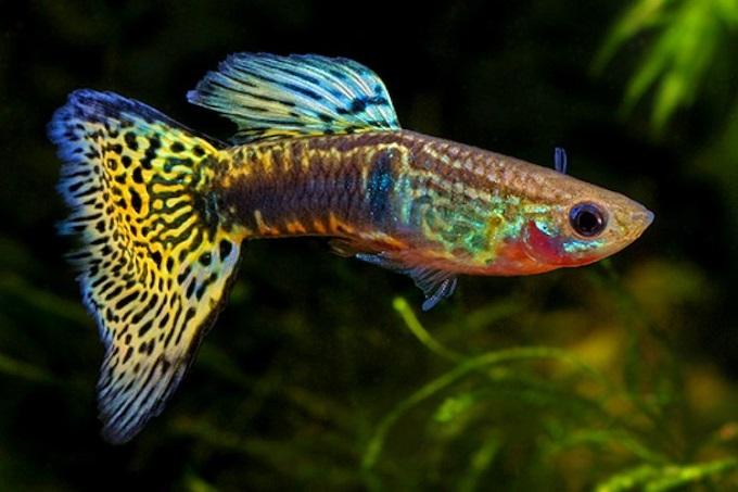 Cá thanh ngọc hay còn gọi là cá bãi trầu