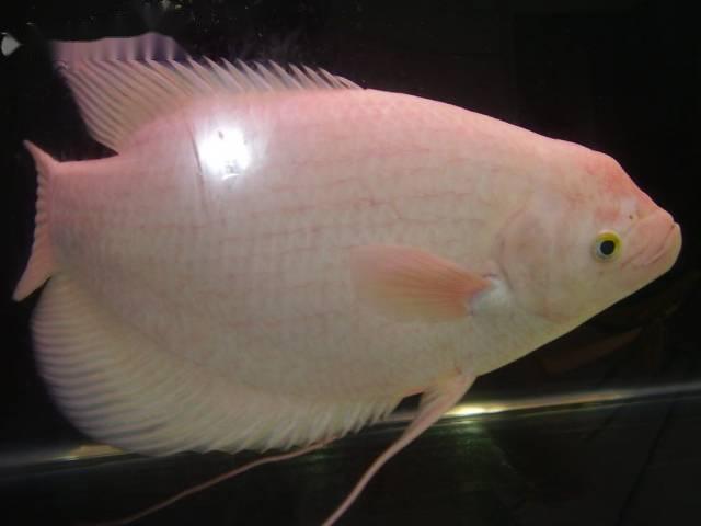 Cá phát tài rất phổ biến ở nước ta và là loài cá khỏe mạnh