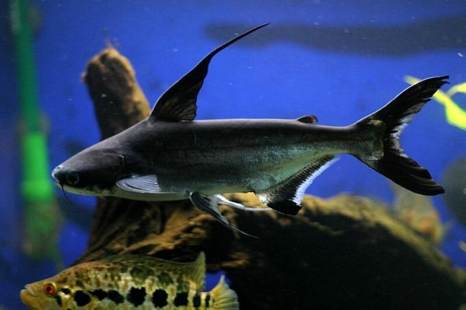 Khả năng thích nghi của loài cá mập cảnh cao nên chúng tương đối khá dễ nuôi.