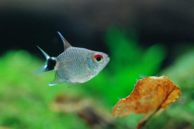 Cá cảnh nước ngọt dễ nuôi, cần ít oxy