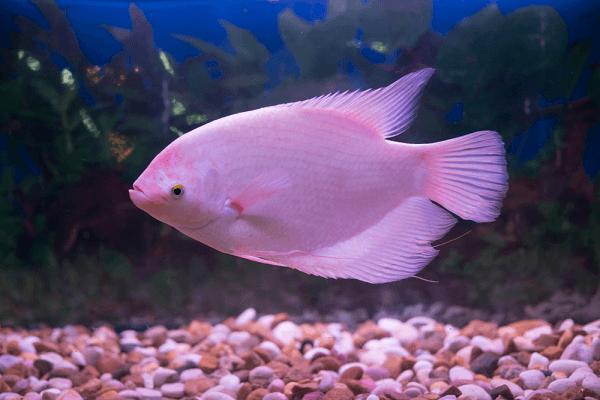 Bản tính của loài cá này rất hung hãn nên rất khó nuôi ghép với các loài cá khác.