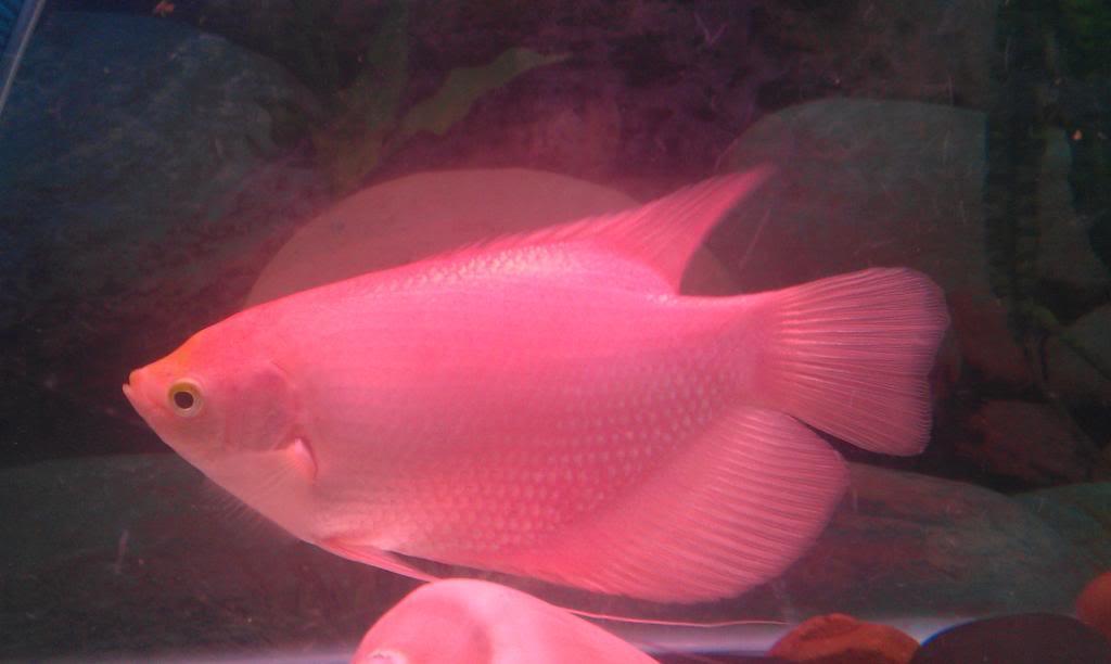Cá phát tài là loài cá có thể sống tốt trong môi trường nghèo nàn oxy