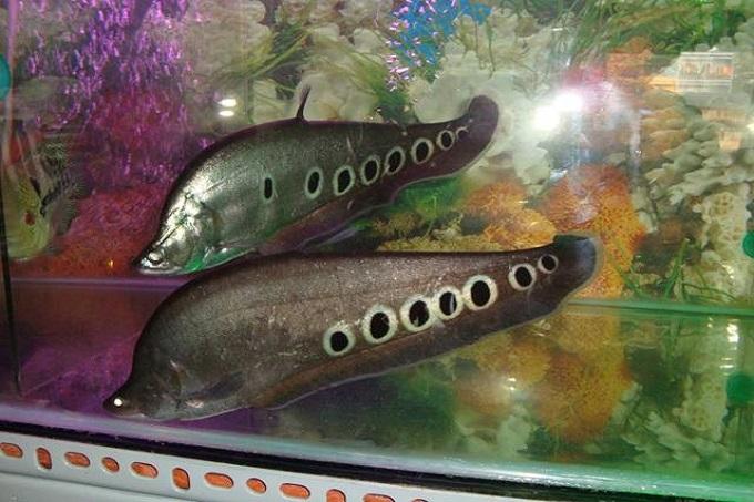 Cá nàng hai (Cá thác lác)