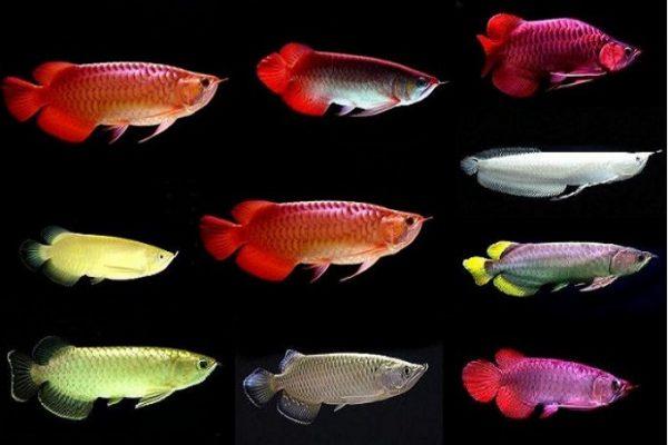 Các loại cá rồng