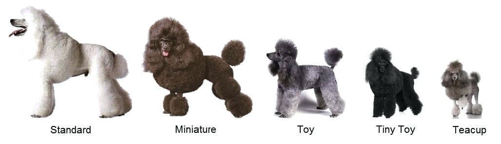Các loại Poodle phổ biến.