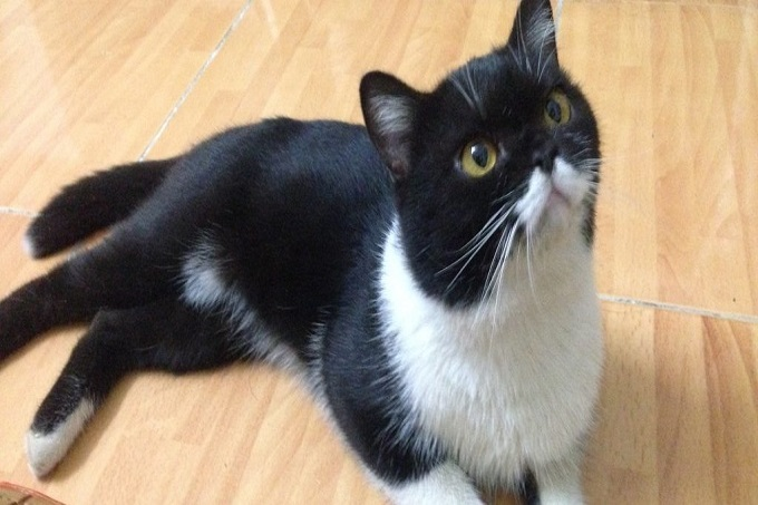 Cách chăm sóc mèo Tuxedo