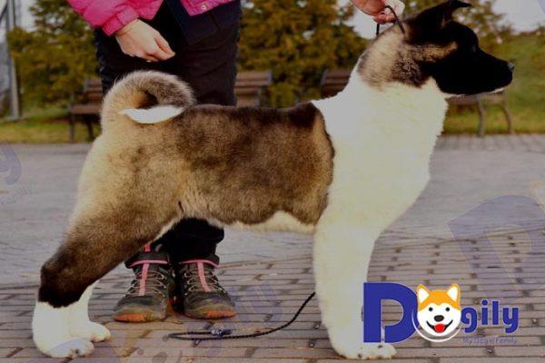 Chó Akita American nhập Nga cái 4 tháng nhà Dogily petshop