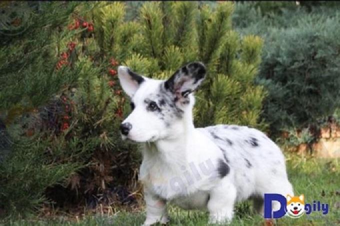 Một bé Corgi Cardian tiêu chuẩn màu blue merler nhập châu Âu.