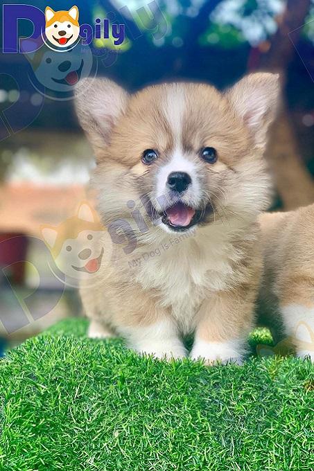 Chó Corgi lông dài (fluffy) là một dạng lỗi  tiêu chuẩn và không làm được giấy tờ. Tuy nhiên, do được ưa chuộng nên giá Fluffy Corgi rất cao, thậm chí còn đắt hơn chó có giấy.