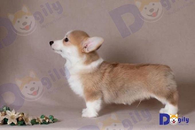 Ảnh: chó Corgi Pembroke Wales nhập khẩu Nga.