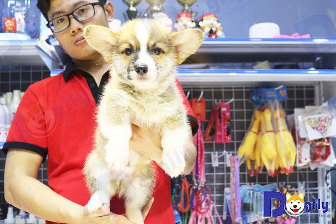 Ảnh: một chú chó Corgi 2 tháng tuổi sinh sản tại Việt Nam được bán tại Dogily Petshop Phú Nhuận, Sài Gòn.