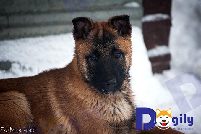 Jacob - chó malinois cái nhập Nga 3 tháng nhà Dogily Petshop