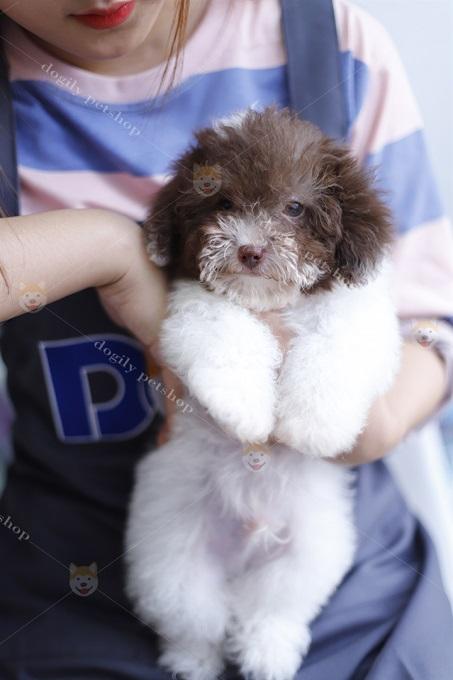 Mặc dù có bộ lông khá xoăn, dày so với kích thước cơ thể. Nhưng Poodle hầu như không bị rụng lông như các giống chó cảnh khác.