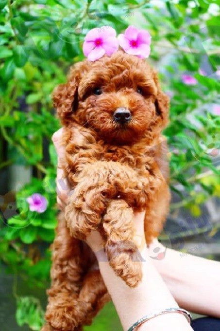 Chỉ với giá từ 7-9 triệu đồng, bạn có thể sở hữu một bé Poodle màu nâu đỏ...