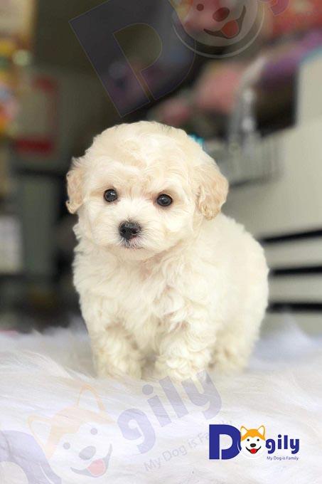 Poodle sinh sản trong nước được ưa chuộng nhất do giá thành rẻ và chất lượng khá tốt. Ảnh: bé Poodle màu kem sinh tại Việt Nam.