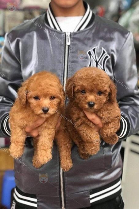Tại Việt Nam, Poodle màu nâu đỏ rất phổ biến, được ưa chuộng nhất và có giá khá rẻ chỉ từ 7 triệu đồng 1 con.