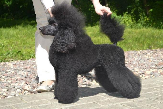 Hình ảnh: một chú Poodle Standard khổng lồ màu đen được cắt tỉa đầy nghệ thuật tại châu Âu.
