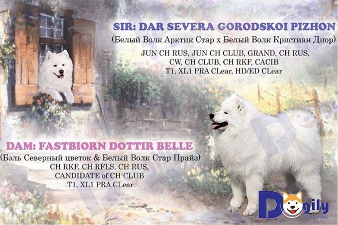 Megan - chó Samoyed nhập Nga nhà Dogily Petshop