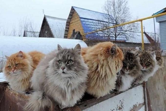 Mèo Siberian còn được gọi là mèo Siberian lông dài, có tên tiếng anh là Siberian Forest Cat.