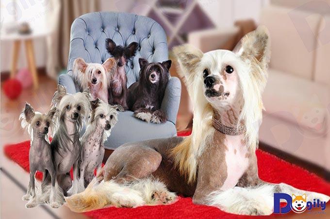 Chó cảnh Chinese Crested