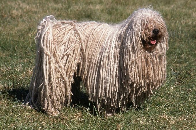 Chó Puli