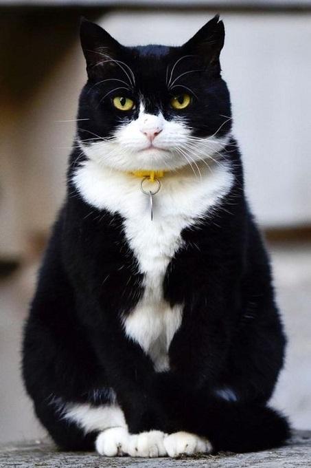 giong-meo-tuxedo