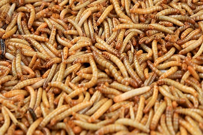 Sâu quy hay còn được gọi là sâu gạo