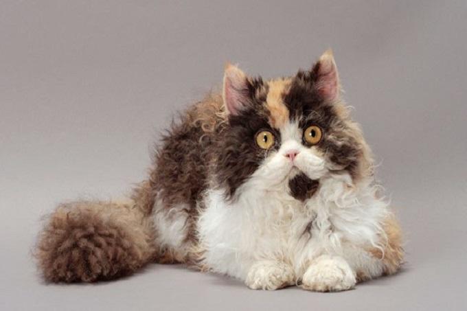 Mèo Selkirk Rex khá khỏe mạnh không có bệnh bẩm sinh hoặc di truyền