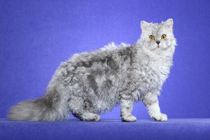 Mèo Selkirk