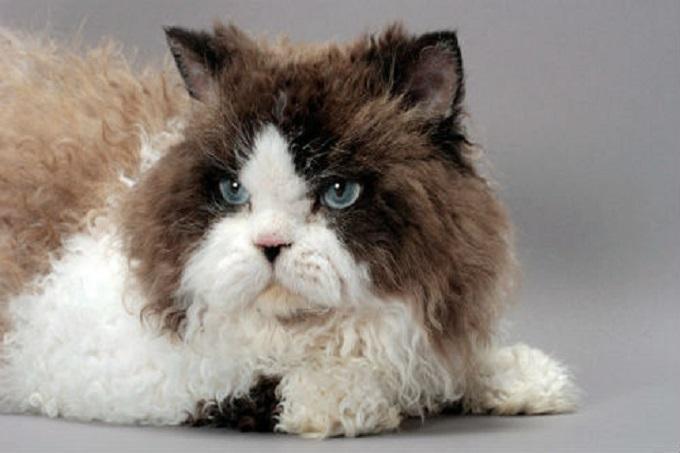 Mèo Selkirk Rex dễ nuôi dưỡng và chăm sóc
