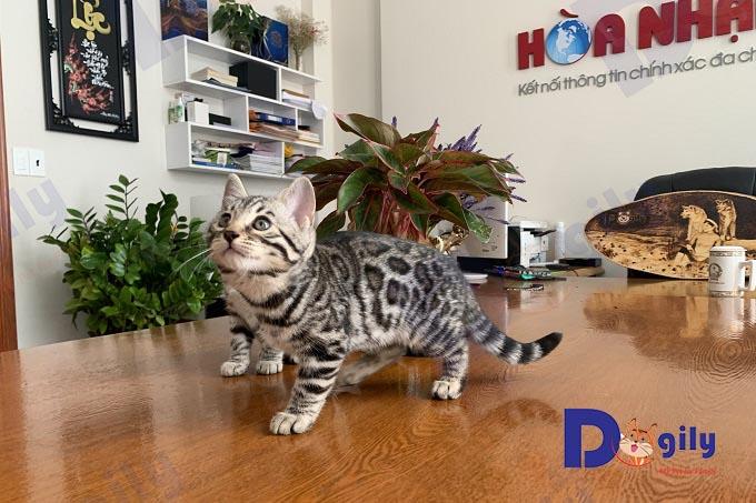Vẻ đẹp và tính cách đáng yêu, hoạt bát của mèo vằn hổ khiến giống mèo này trở nên nổi tiếng và được săn đón khắp thế giới.