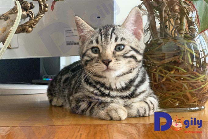 Phần đầu của mèo Bengal có chút khác biệt so với các giống mèo cảnh khác.