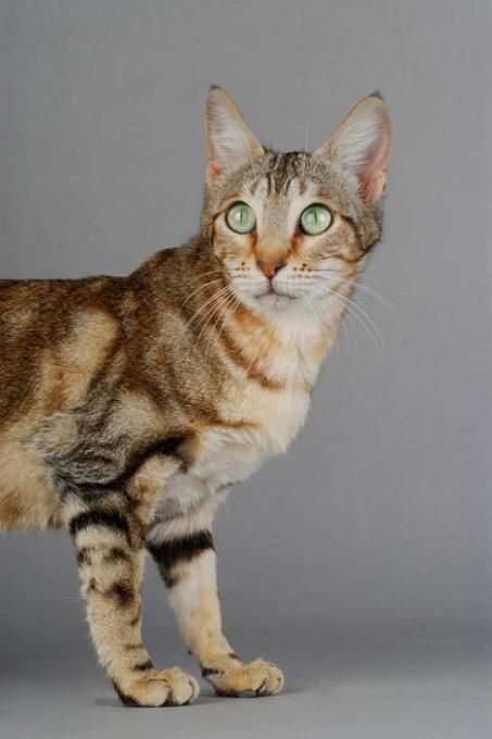 Sokoke là giống mèo rừng tương đối mới