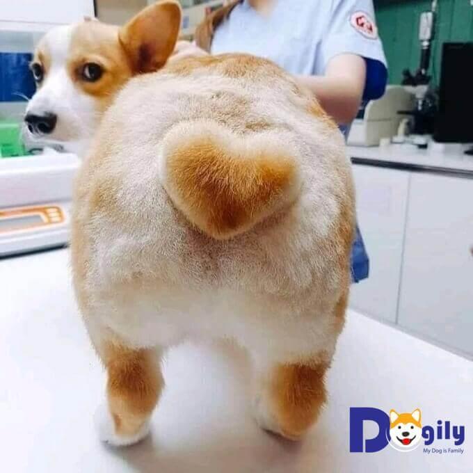 Và một em Corgi đã tạo hình mông có đuôi trái tim tuyệt đẹp. Trông thật ngộ nghĩnh phải không mọi người?