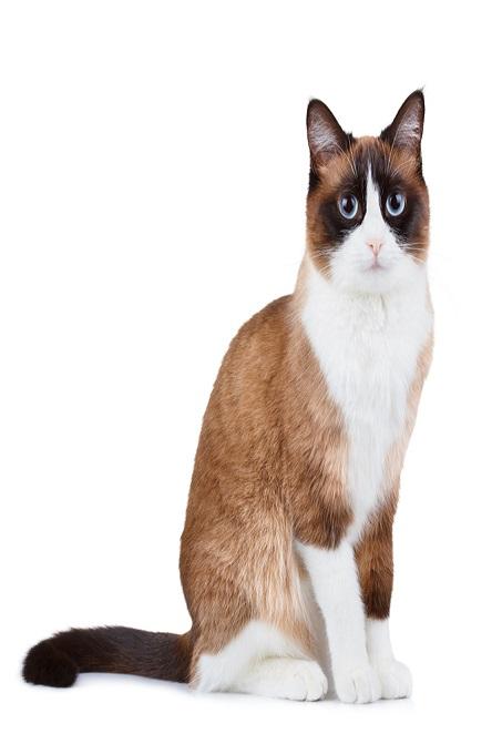 Vẻ mặt ngây ngô của chú mèo Snowshoe trông thật đáng yêu
