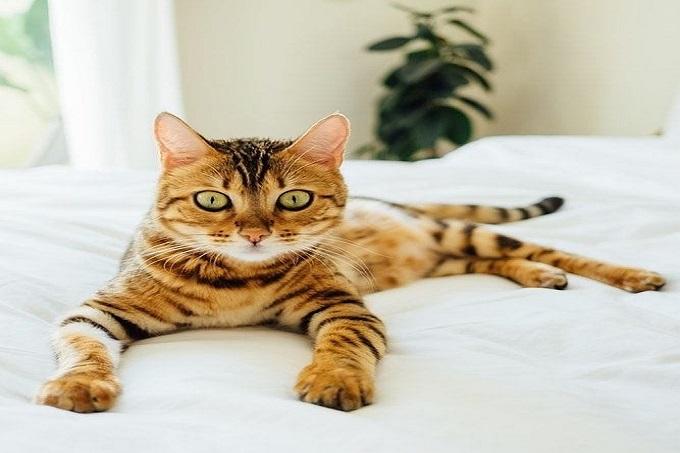Mèo Sokoke thích được ôm ấp, vuốt ve